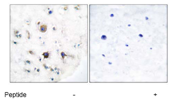 Immunohistochemistry (Paraffin-embedded sections) - Ephrin B3 antibody (ab53063)