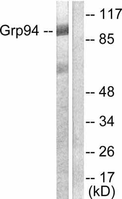 Western blot - GRP94 antibody (ab53075)