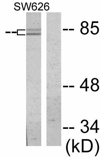 Western blot - beta Catenin antibody (ab53089)