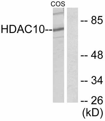 Western blot - HDAC10 antibody (ab53096)