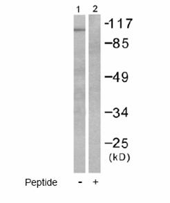 Western blot - HDAC7 antibody (ab53101)