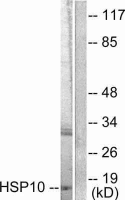 Western blot - Cpn10 antibody (ab53106)