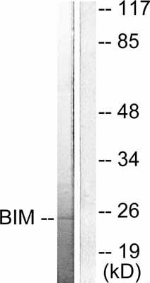 Western blot - Bim antibody (ab53155)