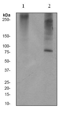 Western blot - PKC delta (phospho T507) antibody [EPR1485Y] (ab53295)