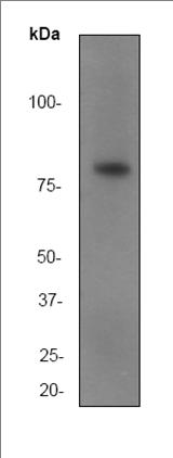 Western blot - SMURF 2 antibody [EP629Y3] (ab53316)