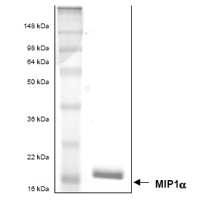 SDS-PAGE - Macrophage Inflammatory Protein 1 alpha / CCL3 protein (His tag) (ab53337)