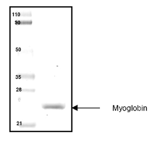 SDS-PAGE - Myoglobin protein (His tag) (ab53340)