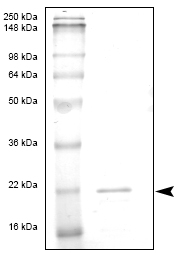SDS-PAGE - IL7 protein (ab53371)