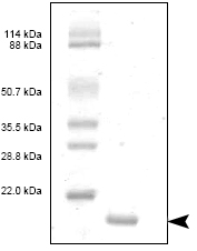 SDS-PAGE - IL8 protein (ab53373)