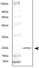 SDS-PAGE - Interferon gamma protein (His tag) (ab53375)