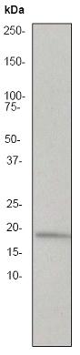 Western blot - TNF alpha antibody [EP1085Y] (ab53450)