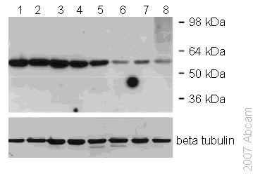 Western blot - p55 DCAF1 antibody (ab53616)