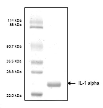 SDS-PAGE - IL1 alpha protein (His tag) (ab53665)