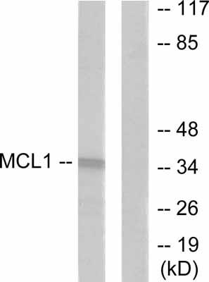 Western blot - MCL1 antibody (ab53709)