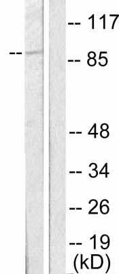 Western blot - MDM2 antibody (ab53710)