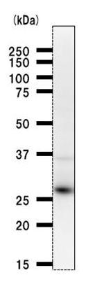 Western blot - RPP30 antibody [2931D5a] (ab53744)