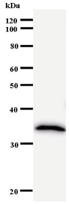 Western blot - ZNF44 antibody [3421C3a] (ab53755)