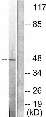 Western blot - JAB1 antibody (ab53768)