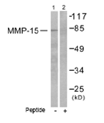 Western blot - MMP15 antibody (ab53770)