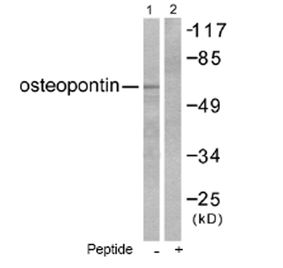 Western blot - Osteopontin antibody (ab53772)