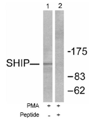 Western blot - SHIP antibody (ab53776)