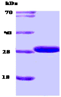 SDS-PAGE - 14-3-3 protein (ab53869)