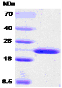 SDS-PAGE - Cyclophilin B protein (ab53870)