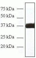 Western blot - FRA2 antibody [ZF001] (ab54234)