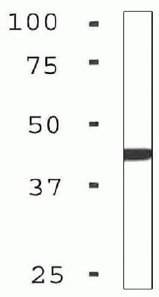 Western blot - BNIP3L antibody [ZN002] (ab54298)