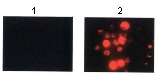 Immunocytochemistry/ Immunofluorescence - FOXP3 antibody (ab54501)