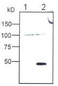 Western blot - FOXP3 antibody (ab54501)