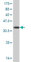Western blot - Cdk3 antibody (ab54514)