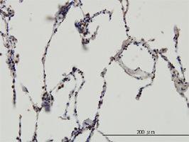 IHC-P - ERH antibody (ab54690)