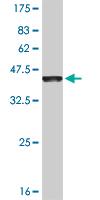 Western blot - EVI2B antibody (ab54707)