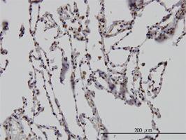 IHC-P - Dlx2 antibody (ab54725)