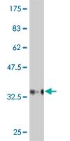 Western blot - BAI2 antibody (ab54821)