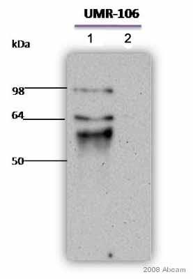 Western blot - RUNX2 antibody (ab54868)