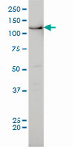 Western blot - Bub1 antibody (ab54893)