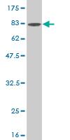 Western blot - BMPR1B antibody (ab54907)