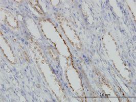 IHC-P - Calpain S1 antibody (ab54929)