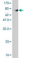 Western blot - FLI1 antibody (ab55012)