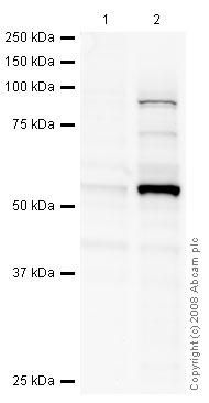Western blot - Egr1 antibody [mAbcam55160] (ab55160)