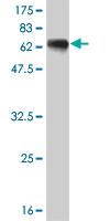 Western blot - HLF antibody (ab55161)