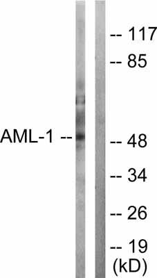 Western blot - RUNX1 / AML1 antibody (ab55363)