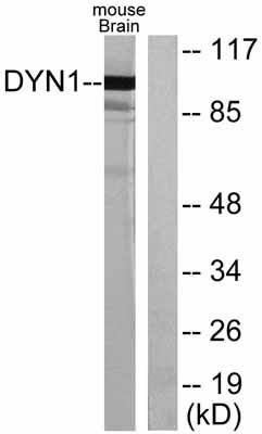 Western blot - Dynamin 1 antibody (ab55397)
