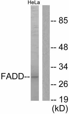 Western blot - FADD antibody (ab55399)