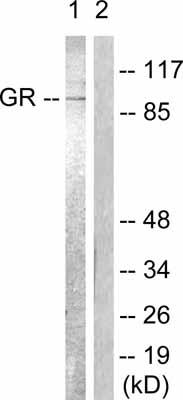 Western blot - Glucocorticoid Receptor antibody (ab55400)