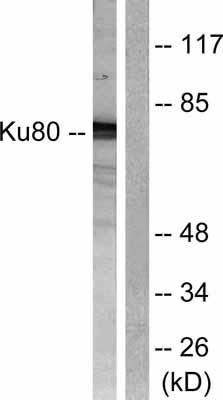 Western blot - Ku80 antibody (ab55408)