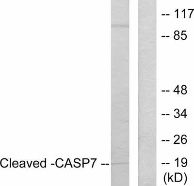 Western blot - Anti-Caspase-7 antibody (ab55427)