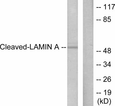 Western blot - Lamin A antibody - Cleaved - Asp230 (ab55431)